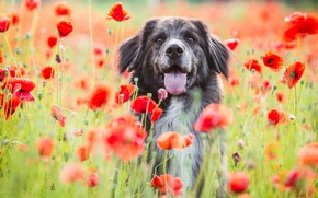 Picture field, language, face, flowers, nature, background, Maki, portrait, dog, red, poppy field, motley