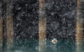 Picture snow, nature, lake, duck
