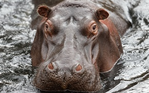 Picture water, nature, Hippo