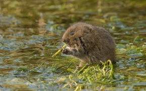 Picture nature, rodent, water vole