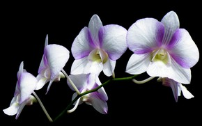 Picture macro, background, petals, Orchid, inflorescence