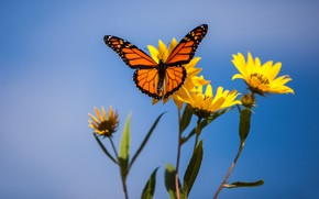Picture macro, flowers, background, butterfly, The monarch, Jerusalem artichoke