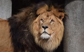 Picture Cat, Leo, Mane, Animal