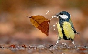 Picture drops, leaf, Tit, bird, water, bokeh
