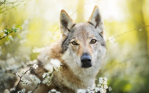 Picture dog, spring, Chinua, the Czechoslovakian Wolfdog, Czechoslovakian, Wolfdog
