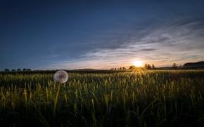 Picture field, sunset, dandelion