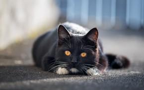 Wallpaper cat, look, asphalt, face, light, kitty, black, the fence, muzzle, cute, lies, friendly, teen, yellow ...