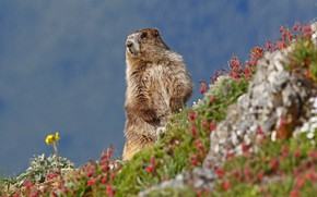 Picture flowers, nature, marmot, rodent