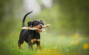 Picture dog, puppy, stick, bokeh, Rottweiler