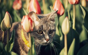 Picture cat, the sun, tulips