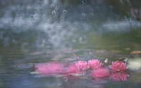 Picture pink, water lilies, water, flowering