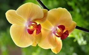 Picture macro, Orchid, yellow