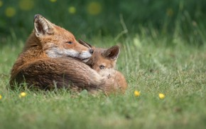 Picture baby, Fox, mom, Fox