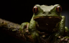 Picture nature, Phyllomedusa tarsius, Tarsier monkey frog