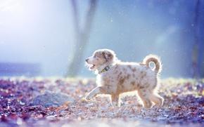Wallpaper Australian shepherd, walk, snow, puppy, Aussie, dog