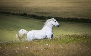 Picture white, summer, horse, horse, stallion, meadow, running, space, profile