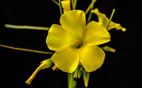 Picture flower, background, plant, petals, Sorrel goat