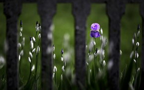 Picture flower, the fence, Iris