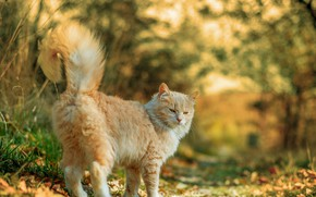 Picture autumn, fluffy cat, blur bokeh