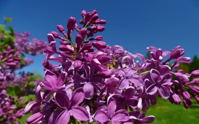 Picture macro, brush, lilac, inflorescence