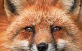 Picture portrait, Fox, Fox, red face