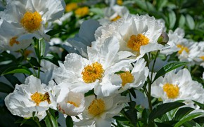 Picture leaves, petals, Bud, flowering, peony