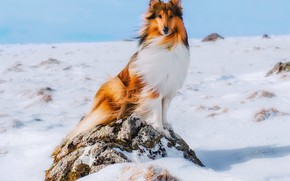 Picture winter, snow, dog, collie