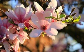 Picture pink, branch, Magnolia