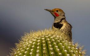 Picture bird, beak, cactus, silkly woodpecker