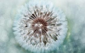 Wallpaper fuzzes, dandelion, round
