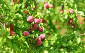 Picture summer, leaves, fruit, plum