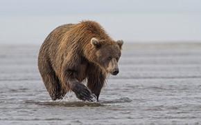 Picture water, nature, brown bear, mammal