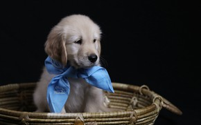 Picture background, basket, dog, puppy, solitaire, Golden Retriever, Golden Retriever