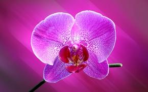 Wallpaper Orchid, flower, petals