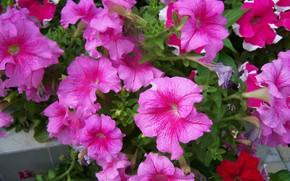 Picture flowers, pink, Petunia, Mamala ©