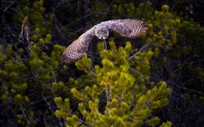Picture nature, owl, bird, wings