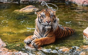 Picture tiger, predator, bathing, wild cat, zoo, pond