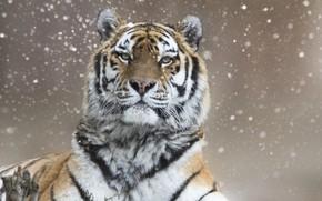 Wallpaper winter, snow, tiger, look