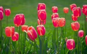 Wallpaper spring, meadow, petals, tulips