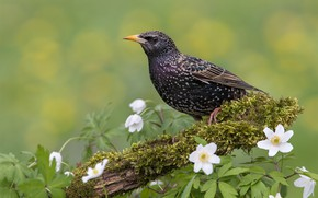 Picture flowers, background, bird, Starling