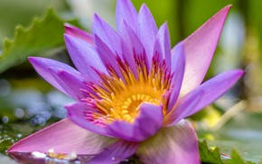 Picture macro, petals, Lotus, water Lily