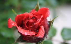Picture Drops, Red rose, Drops, Red rose