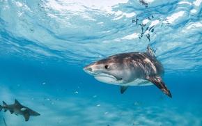 Picture sea, fish, blue, sharks, underwater world, under water