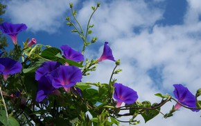 Picture purple, the sky, clouds, flowering, bindweed, mamala ©