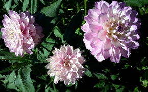 Picture summer, flowers, pink, dahlias