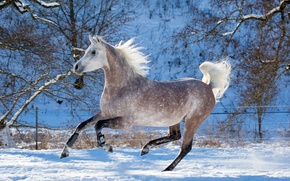 Wallpaper grey, horse, horse, speed, power, running, grace, jump, gallop, (с) Oliver Seitz, frisky