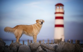 Wallpaper dog, shore, lighthouse
