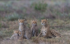 Picture family portrait, cheetahs, family, cubs, Tanzania