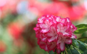 Picture bunch, rhododendron, Azalea