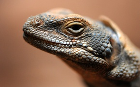 Picture eyes, leather, lizard